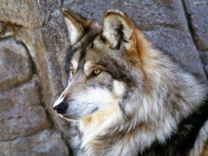 Ο Όσιος, ο λύκος και τα γαϊδουράκια